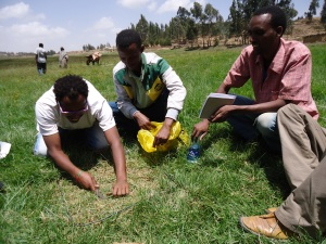 Harvesting grass from sample plots for practical demonstration of comparative yield method of measuring biomass production of pasturelands