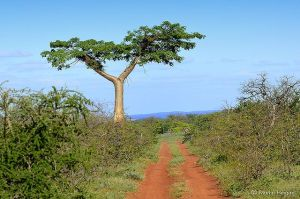 babao tree